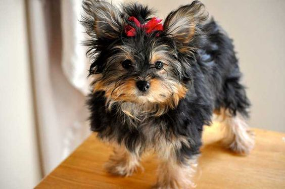 Yorkie Pom with red ribbon in his head