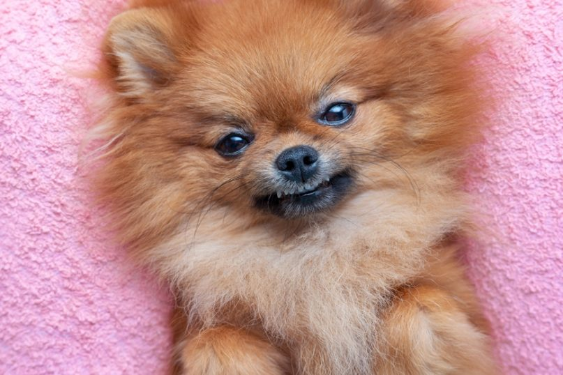 Pomeranian lying and smiling on bed