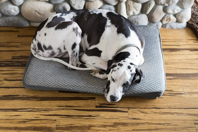 Great Dane curled up in his bed